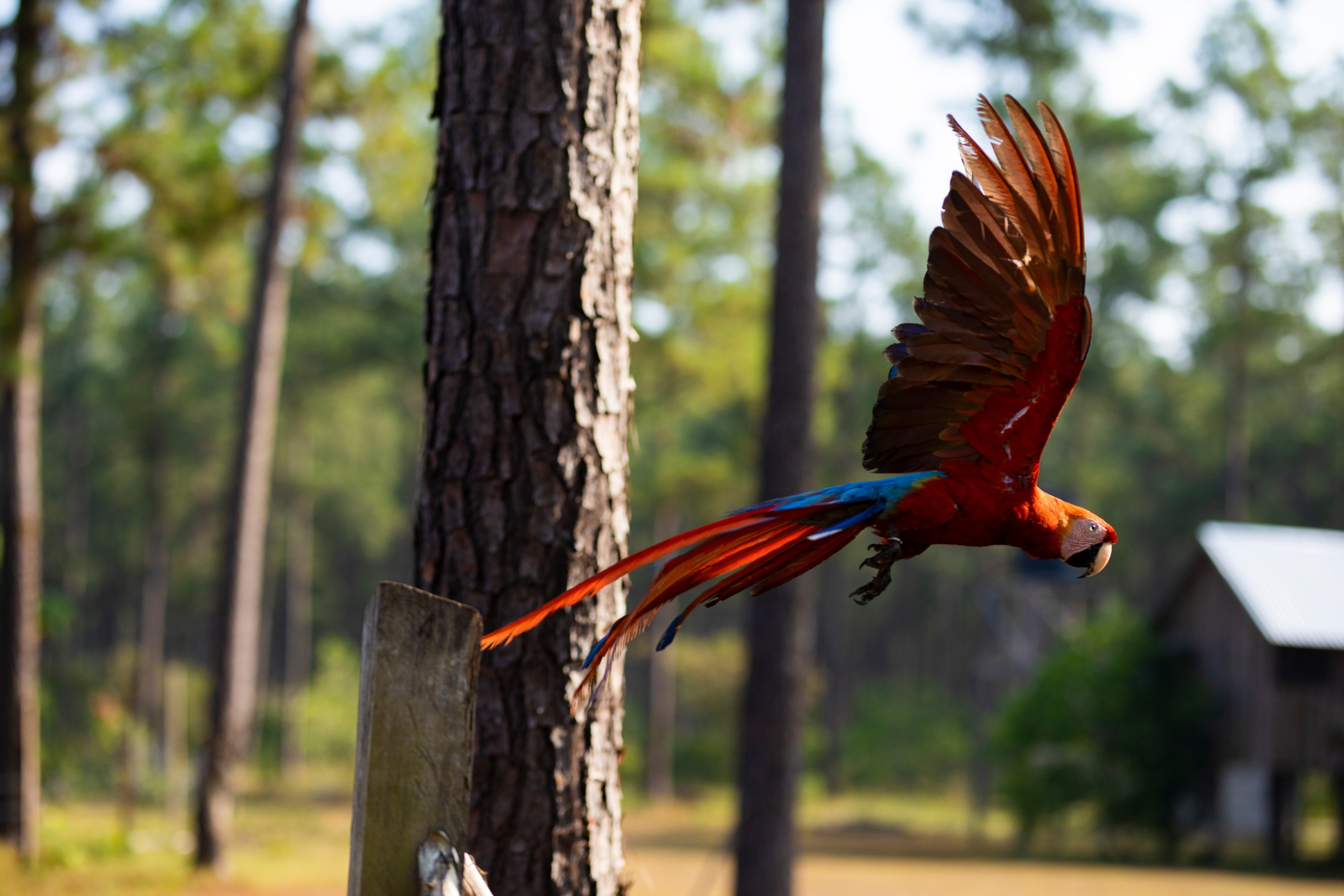 Macaw_Flight_02