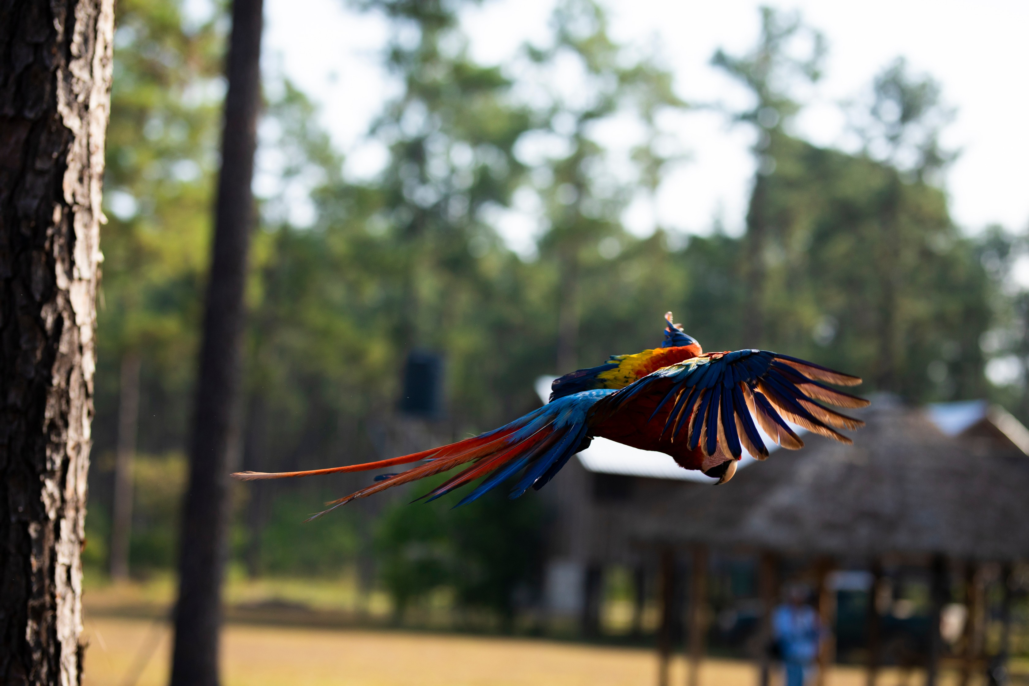 Macaw_Wings